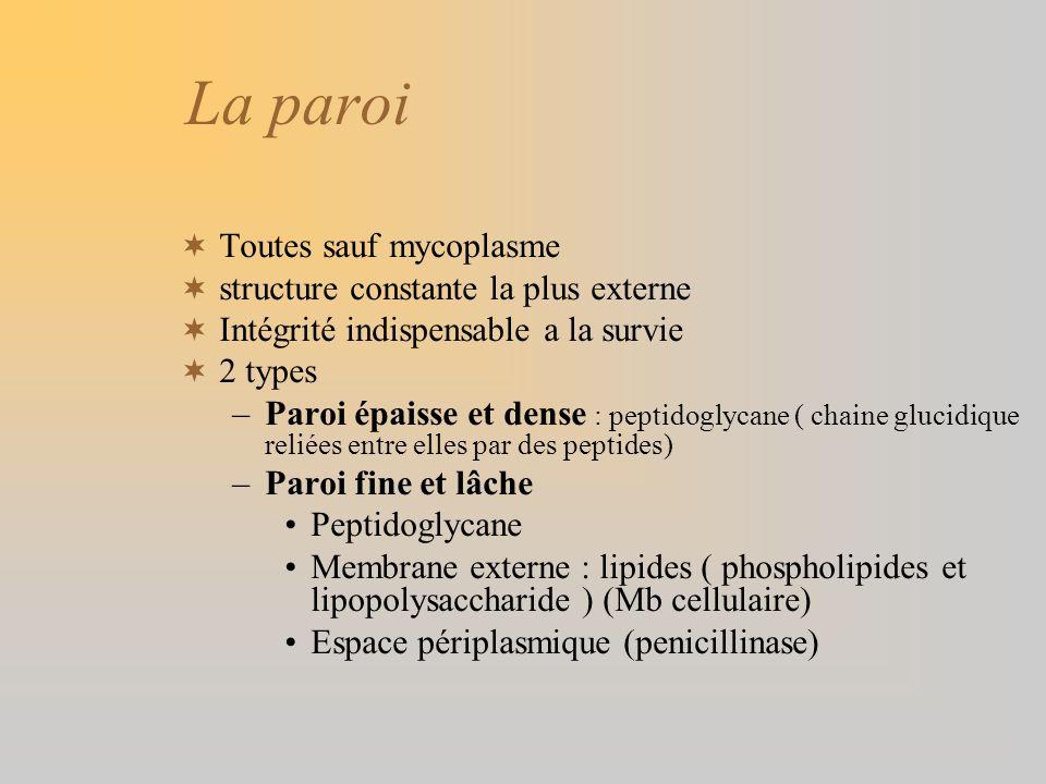 La paroi Toutes sauf mycoplasme structure constante la plus externe Intégrité indispensable a la survie 2 types –Paroi épaisse et dense : peptidoglyca