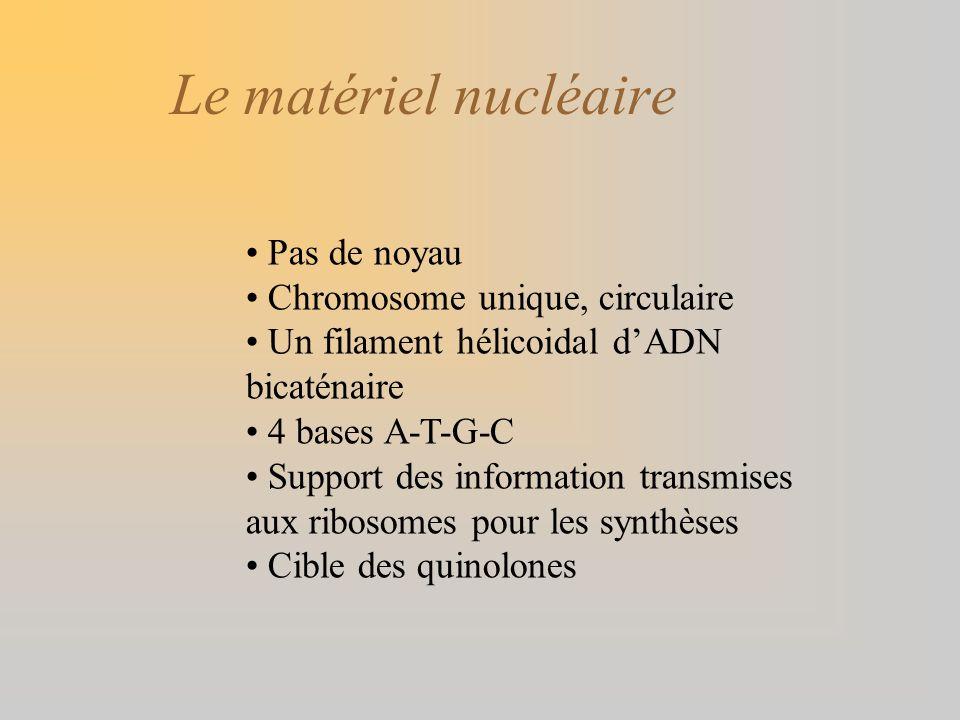 Le matériel nucléaire Pas de noyau Chromosome unique, circulaire Un filament hélicoidal dADN bicaténaire 4 bases A-T-G-C Support des information trans