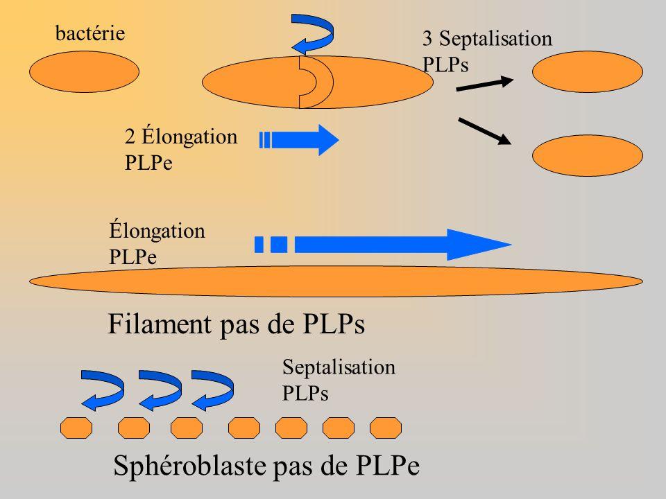 2 Élongation PLPe 3 Septalisation PLPs bactérie Élongation PLPe Filament pas de PLPs Sphéroblaste pas de PLPe Septalisation PLPs