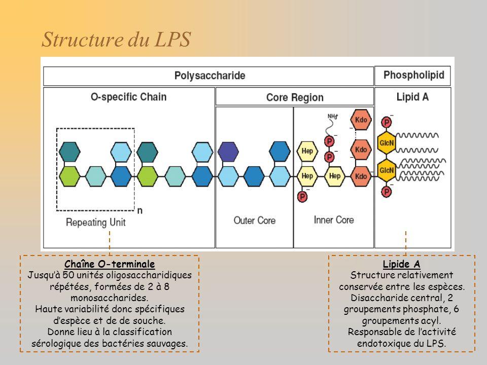 Structure du LPS Chaîne O-terminale Jusquà 50 unités oligosaccharidiques répétées, formées de 2 à 8 monosaccharides. Haute variabilité donc spécifique