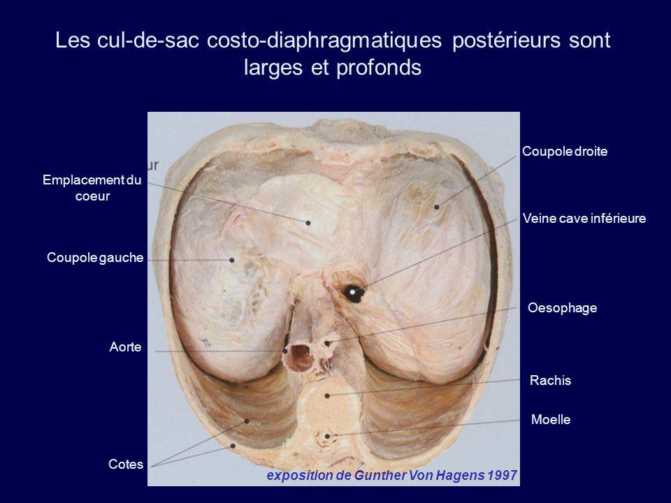 Les cul-de-sac costo-diaphragmatiques postérieurs sont larges et profonds Coupole droite Coupole gauche Aorte Cotes Emplacement du coeur Veine cave in