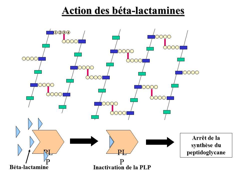 PL P Béta-lactamine Inactivation de la PLP Arrêt de la synthèse du peptidoglycane Action des béta-lactamines