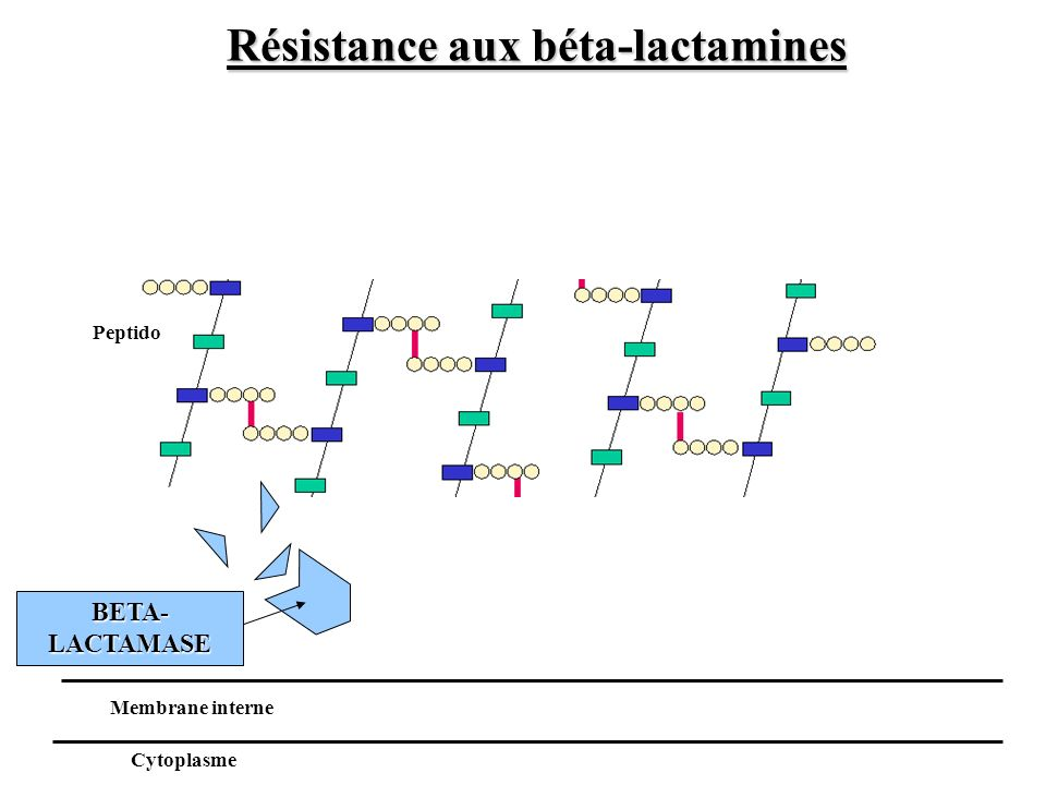BETA- LACTAMASE Peptido Membrane interne Cytoplasme Résistance aux béta-lactamines