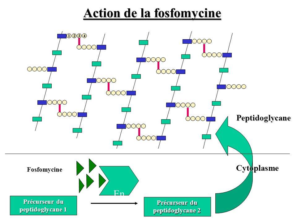 Précurseur du peptidoglycane 2 Précurseur du peptidoglycane 1 Cytoplasme Peptidoglycane En z Fosfomycine Action de la fosfomycine