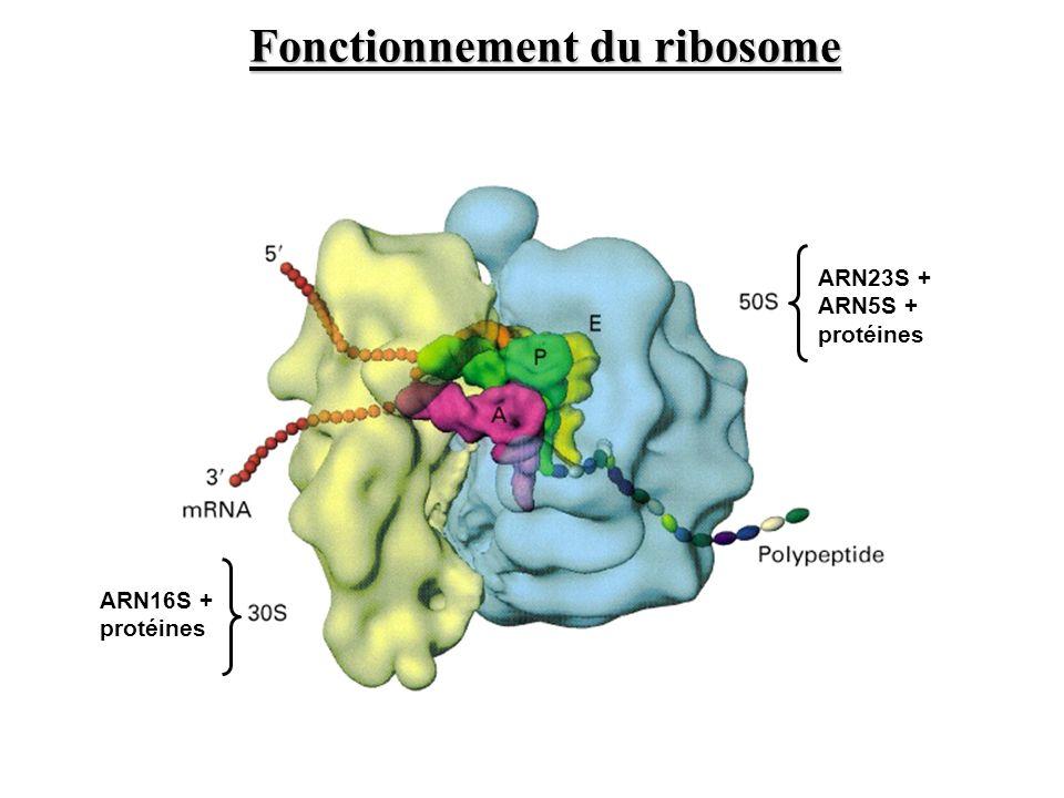 ARN23S + ARN5S + protéines ARN16S + protéines Fonctionnement du ribosome