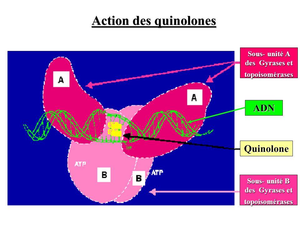 Sous- unité A des Gyrases et topoisomérases Sous- unité B des Gyrases et topoisomérases Quinolone ADN Action des quinolones