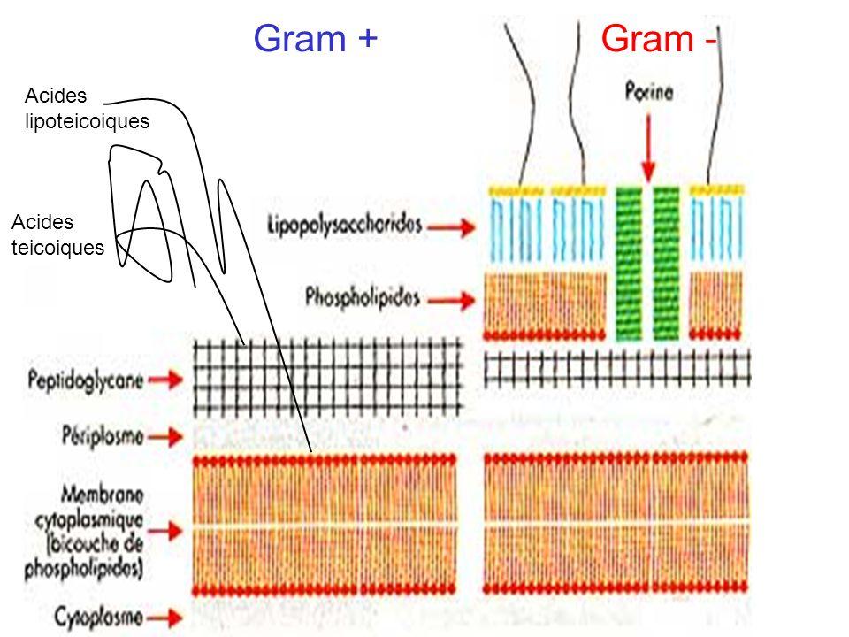 Gram +Gram - Acides teicoiques Acides lipoteicoiques