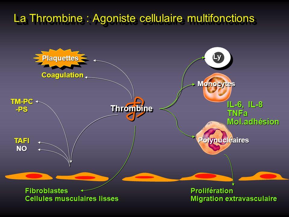 La Thrombine : Agoniste cellulaire multifonctions Coagulation Plaquettes Prolifération Migration extravasculaire IL-6, IL-8 TNFaMol.adhésion PMN Fibro