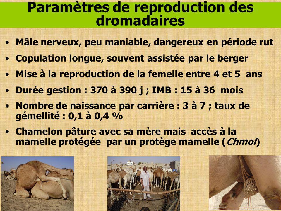 Paramètres de reproduction des dromadaires Mâle nerveux, peu maniable, dangereux en période rut Copulation longue, souvent assistée par le berger Mise