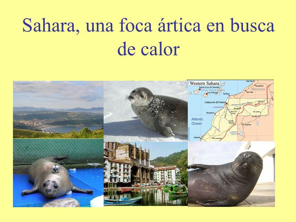 Sahara, una foca ártica en busca de calor