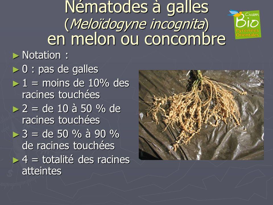 Nématodes à galles (Meloïdogyne incognita) en melon ou concombre Notation : Notation : 0 : pas de galles 0 : pas de galles 1 = moins de 10% des racine