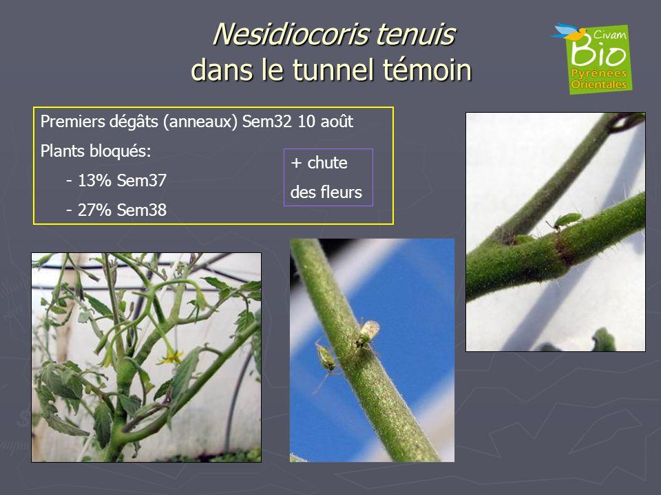 Nesidiocoris tenuis dans le tunnel témoin Premiers dégâts (anneaux) Sem32 10 août Plants bloqués: - 13% Sem37 - 27% Sem38 + chute des fleurs