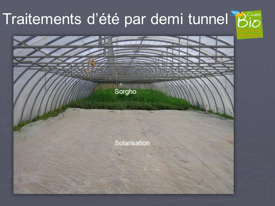 Sorgho Solarisation Traitements dété par demi tunnel