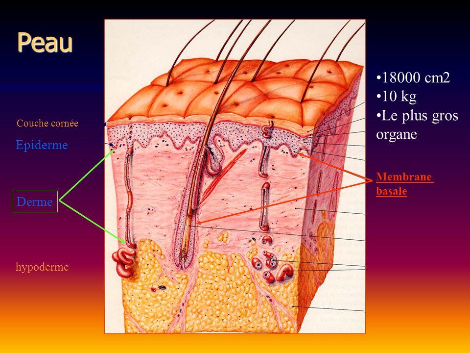Epiderme Protection (couche cornée sensibilité (quelques terminaisons) cicatrisation Derme Élasticité Sensibilité, tact Vascularisation Régulation thermique Qualité de la cicatrice Fonctions derme et épiderme