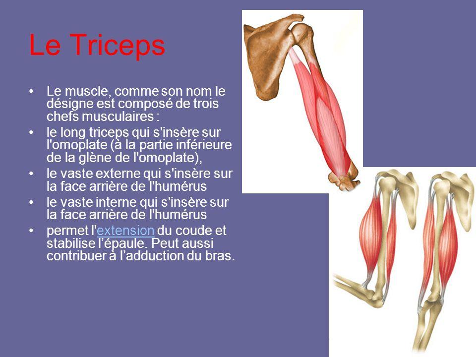 Le Triceps Le muscle, comme son nom le désigne est composé de trois chefs musculaires : le long triceps qui s'insère sur l'omoplate (à la partie infér