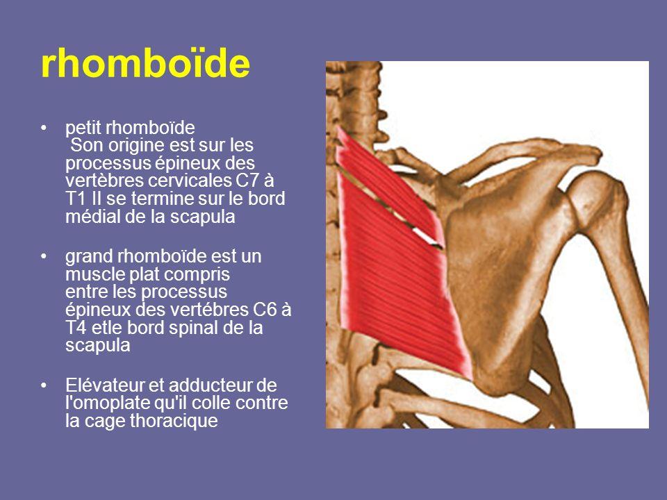 rhomboïde petit rhomboïde Son origine est sur les processus épineux des vertèbres cervicales C7 à T1 Il se termine sur le bord médial de la scapula gr