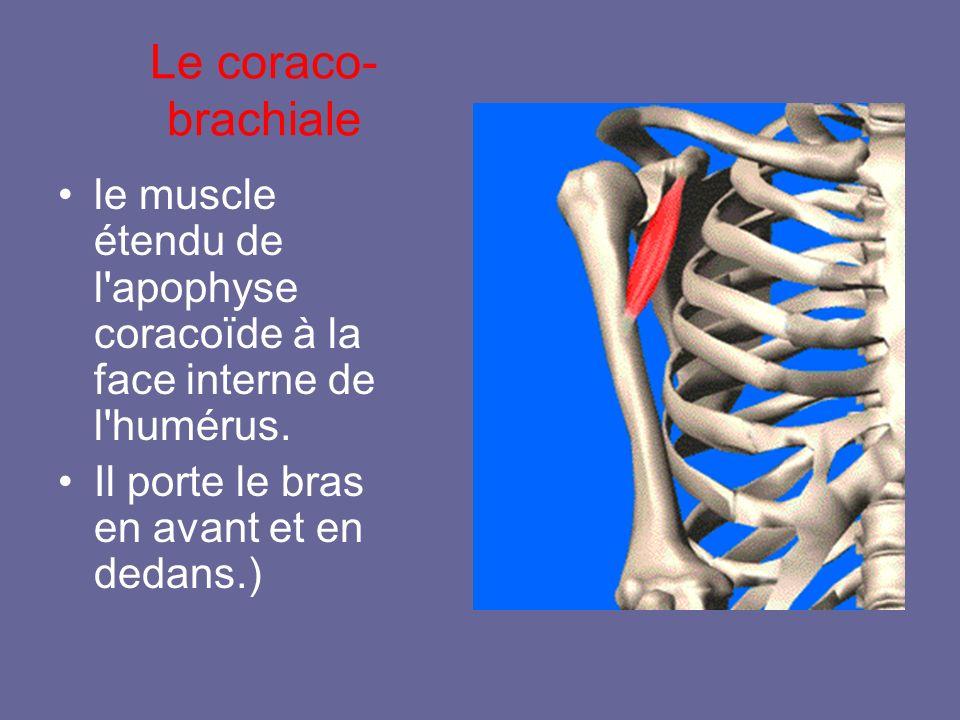 Le coraco- brachiale le muscle étendu de l'apophyse coracoïde à la face interne de l'humérus. Il porte le bras en avant et en dedans.)
