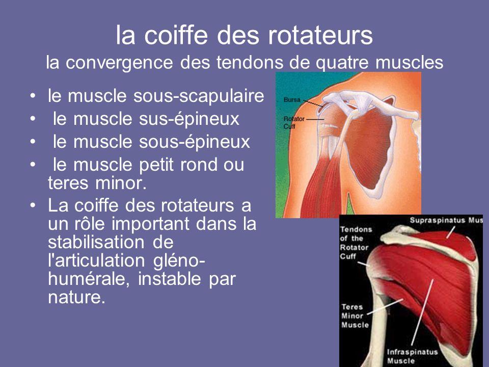 la coiffe des rotateurs la convergence des tendons de quatre muscles le muscle sous-scapulaire le muscle sus-épineux le muscle sous-épineux le muscle