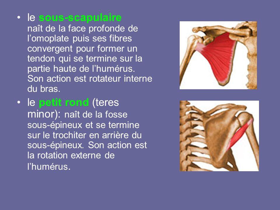 le sous-scapulaire naît de la face profonde de lomoplate puis ses fibres convergent pour former un tendon qui se termine sur la partie haute de lhumér