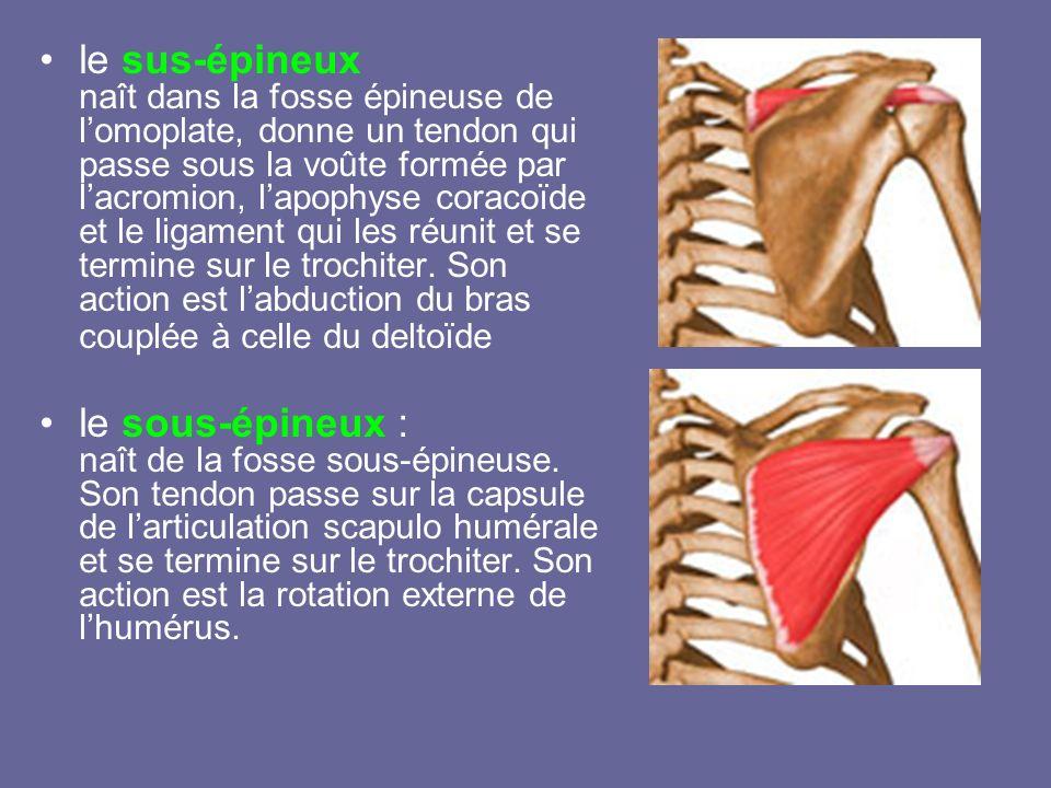 le sus-épineux naît dans la fosse épineuse de lomoplate, donne un tendon qui passe sous la voûte formée par lacromion, lapophyse coracoïde et le ligam