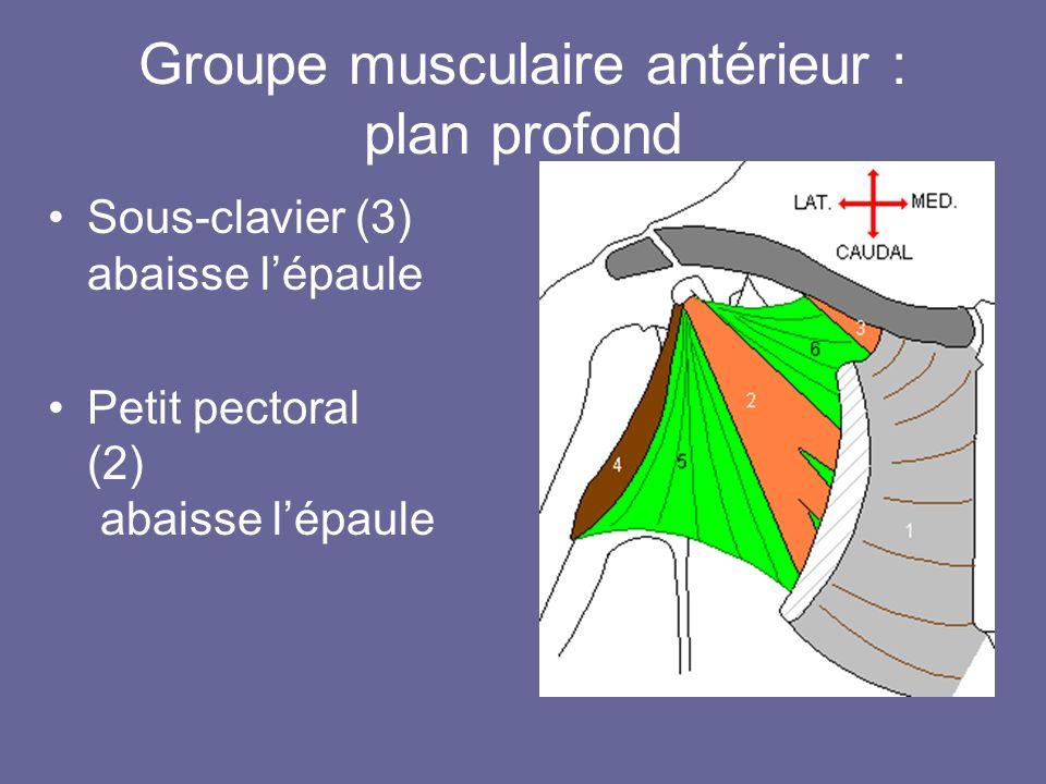 Groupe musculaire antérieur : plan profond Sous-clavier (3) abaisse lépaule Petit pectoral (2) abaisse lépaule