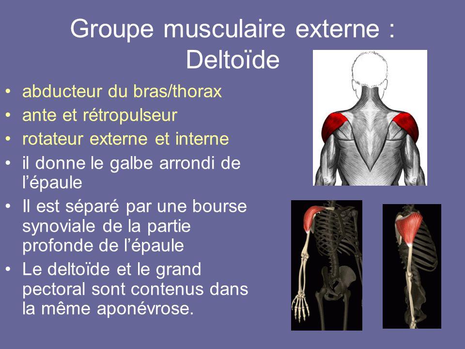 Groupe musculaire externe : Deltoïde abducteur du bras/thorax ante et rétropulseur rotateur externe et interne il donne le galbe arrondi de lépaule Il