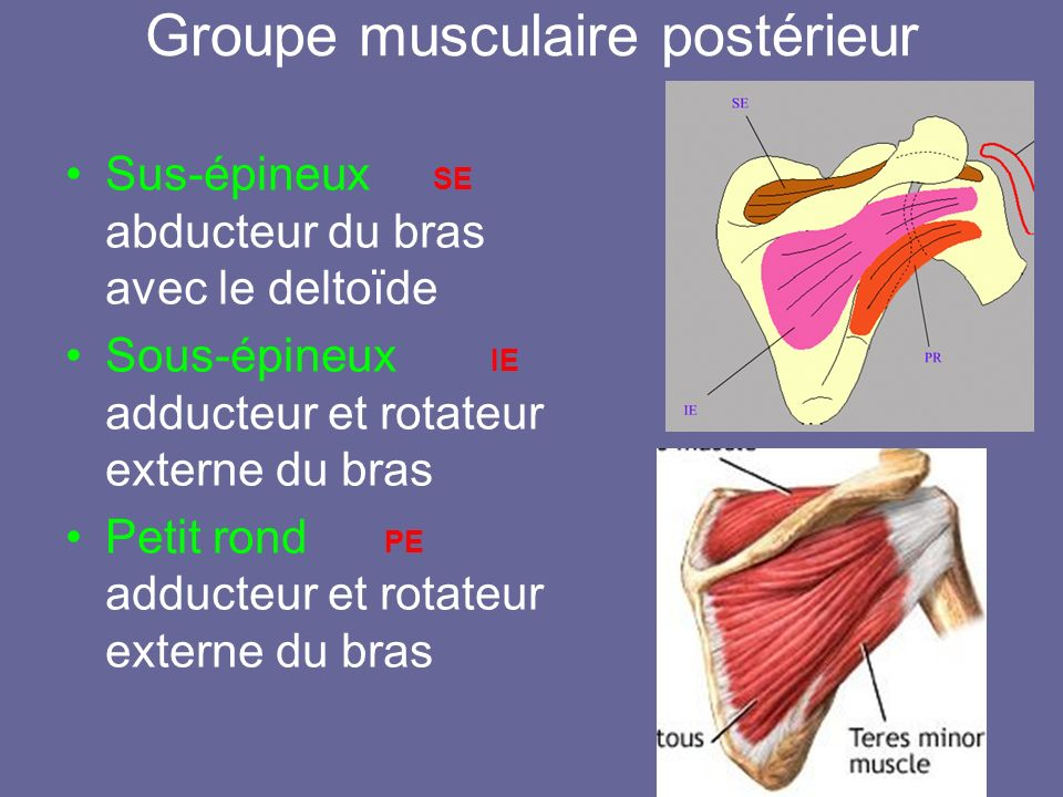 Groupe musculaire postérieur Sus-épineux SE abducteur du bras avec le deltoïde Sous-épineux IE adducteur et rotateur externe du bras Petit rond PE add