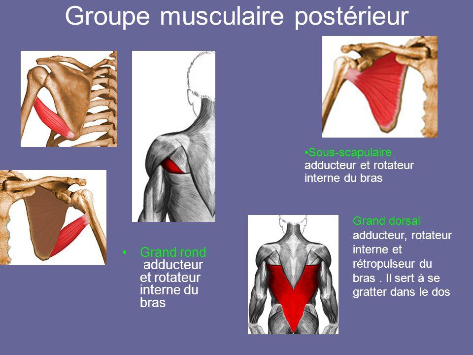 Groupe musculaire postérieur Grand rond adducteur et rotateur interne du bras Sous-scapulaire adducteur et rotateur interne du bras Grand dorsal adduc