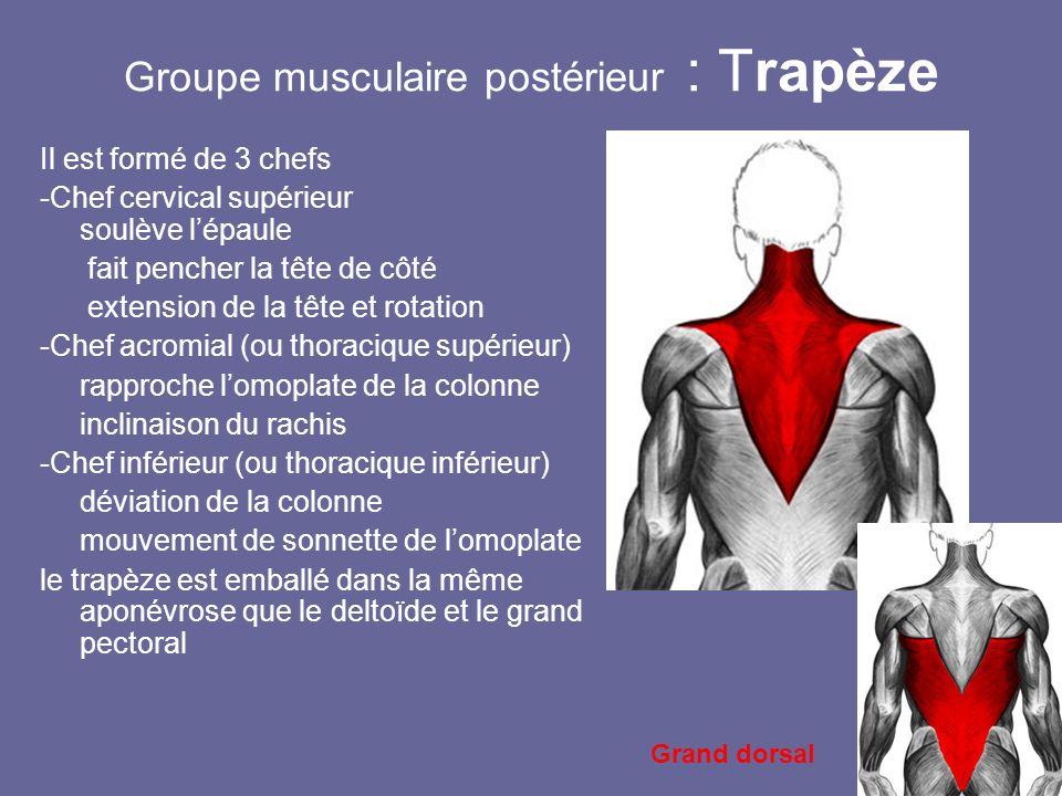 Groupe musculaire postérieur : Trapèze Il est formé de 3 chefs -Chef cervical supérieur soulève lépaule fait pencher la tête de côté extension de la t