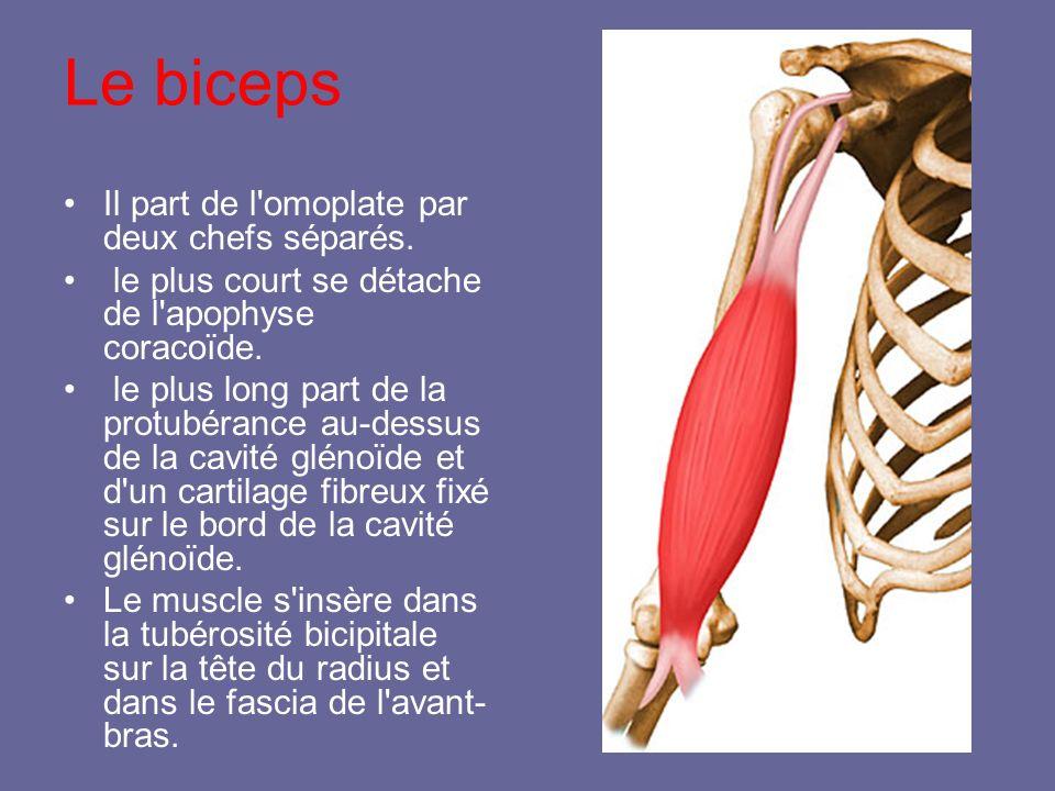 Le biceps Il part de l'omoplate par deux chefs séparés. le plus court se détache de l'apophyse coracoïde. le plus long part de la protubérance au-dess