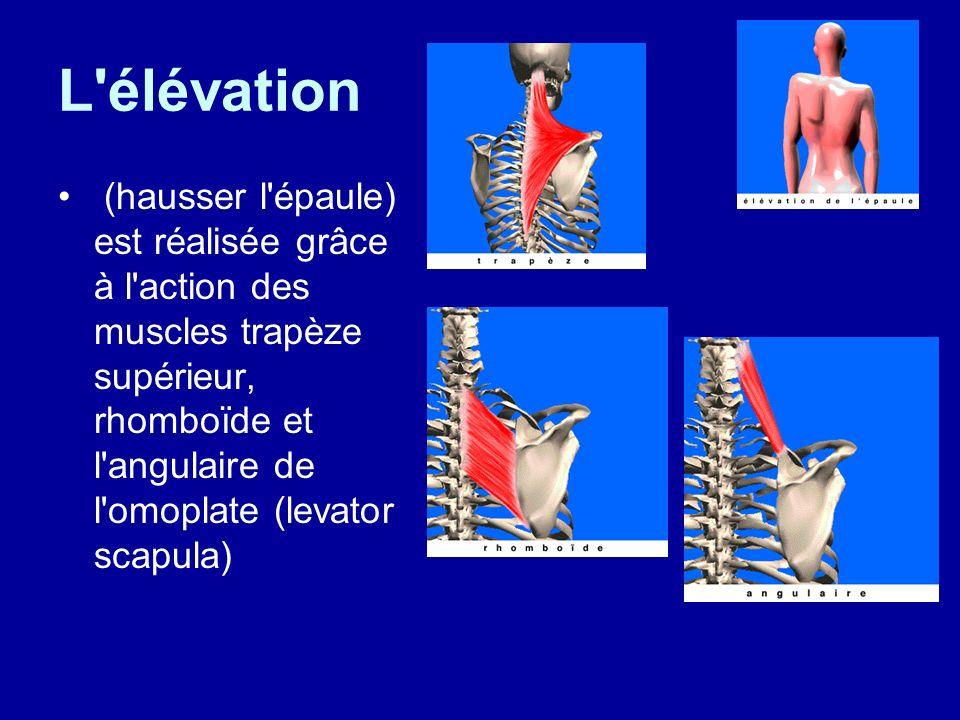 L'élévation (hausser l'épaule) est réalisée grâce à l'action des muscles trapèze supérieur, rhomboïde et l'angulaire de l'omoplate (levator scapula)