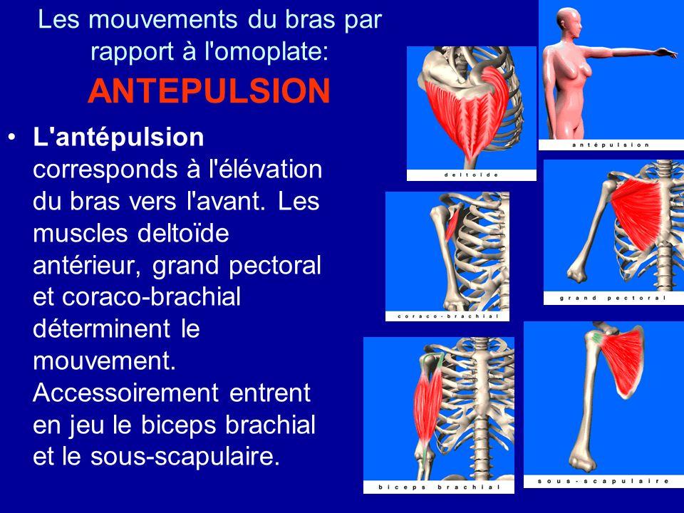 Les mouvements du bras par rapport à l'omoplate: ANTEPULSION L'antépulsion corresponds à l'élévation du bras vers l'avant. Les muscles deltoïde antéri