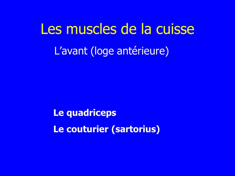 Les muscles de la cuisse Lavant (loge antérieure) Le quadriceps Le couturier (sartorius)