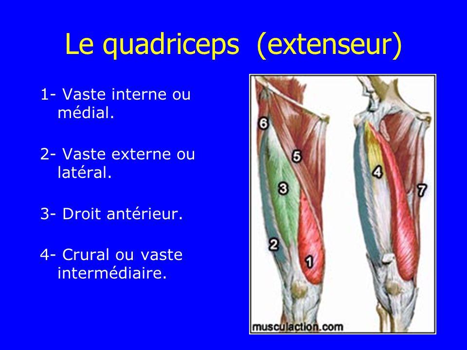 Le quadriceps (extenseur) 1- Vaste interne ou médial. 2- Vaste externe ou latéral. 3- Droit antérieur. 4- Crural ou vaste intermédiaire.