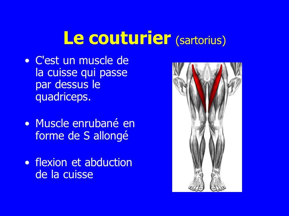 Le couturier (sartorius) C'est un muscle de la cuisse qui passe par dessus le quadriceps. Muscle enrubané en forme de S allongé flexion et abduction d