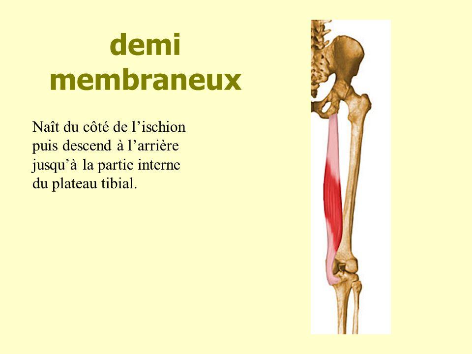 demi membraneux Naît du côté de lischion puis descend à larrière jusquà la partie interne du plateau tibial.