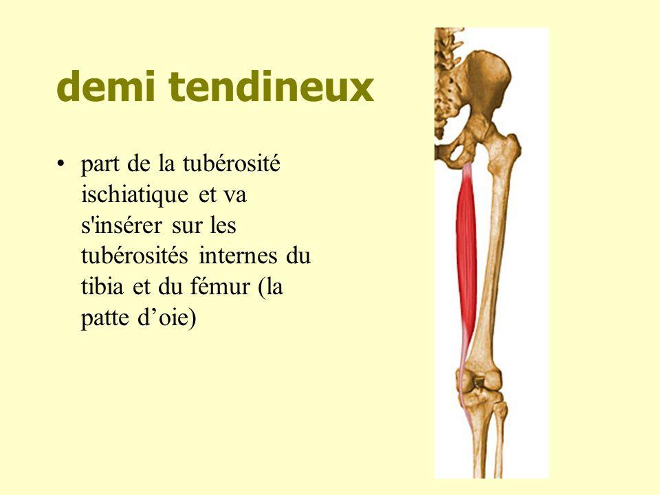 biceps fémoral : longue portion Naît sur lischion descend à larrière de la cuisse mais vers lextérieur pour se terminer sur la tête du péroné sur un tendon commun avec le court biceps.