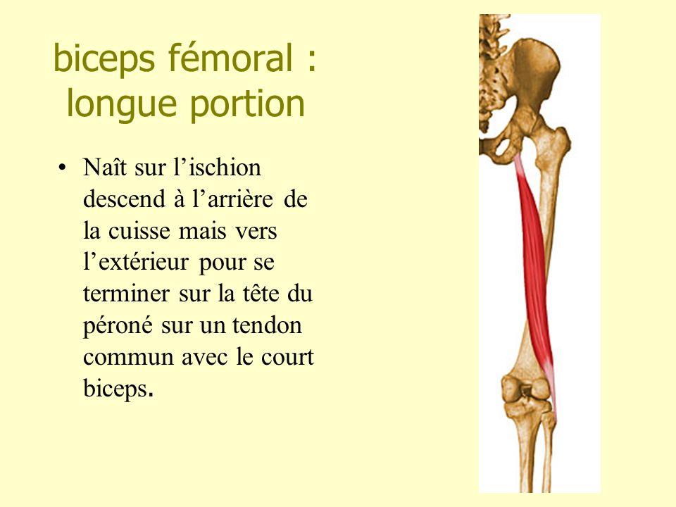 biceps fémoral : longue portion Naît sur lischion descend à larrière de la cuisse mais vers lextérieur pour se terminer sur la tête du péroné sur un t