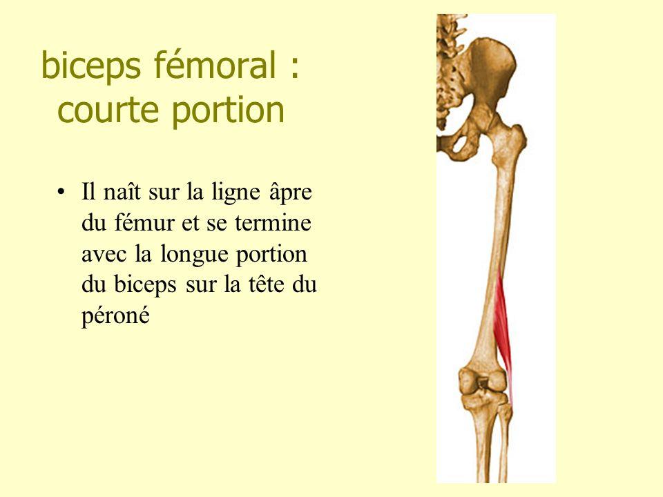 biceps fémoral : courte portion Il naît sur la ligne âpre du fémur et se termine avec la longue portion du biceps sur la tête du péroné