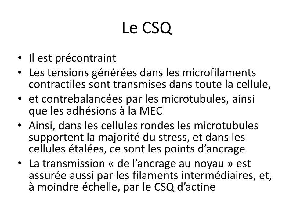 Le CSQ Il est précontraint Les tensions générées dans les microfilaments contractiles sont transmises dans toute la cellule, et contrebalancées par le