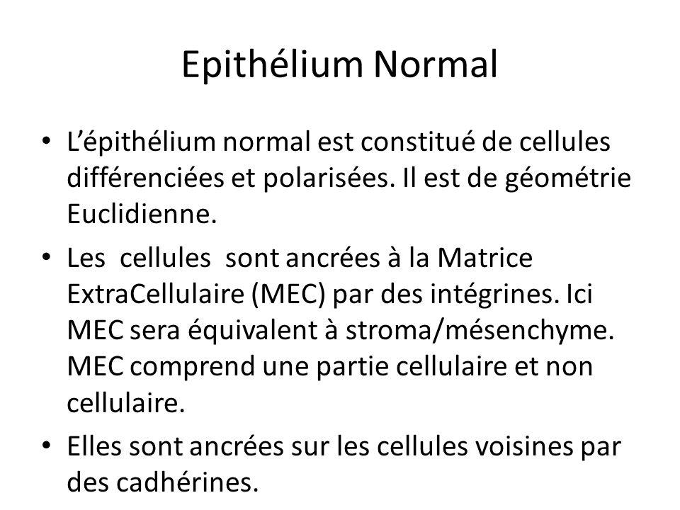 Epithélium Normal Lépithélium normal est constitué de cellules différenciées et polarisées. Il est de géométrie Euclidienne. Les cellules sont ancrées