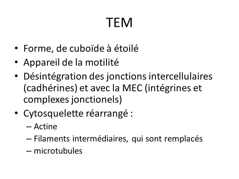 TEM Forme, de cuboïde à étoilé Appareil de la motilité Désintégration des jonctions intercellulaires (cadhérines) et avec la MEC (intégrines et comple