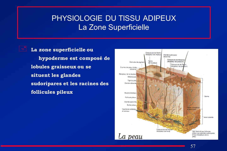 57 PHYSIOLOGIE DU TISSU ADIPEUX La Zone Superficielle La zone superficielle ou hypoderme est composé de lobules graisseux ou se situent les glandes su