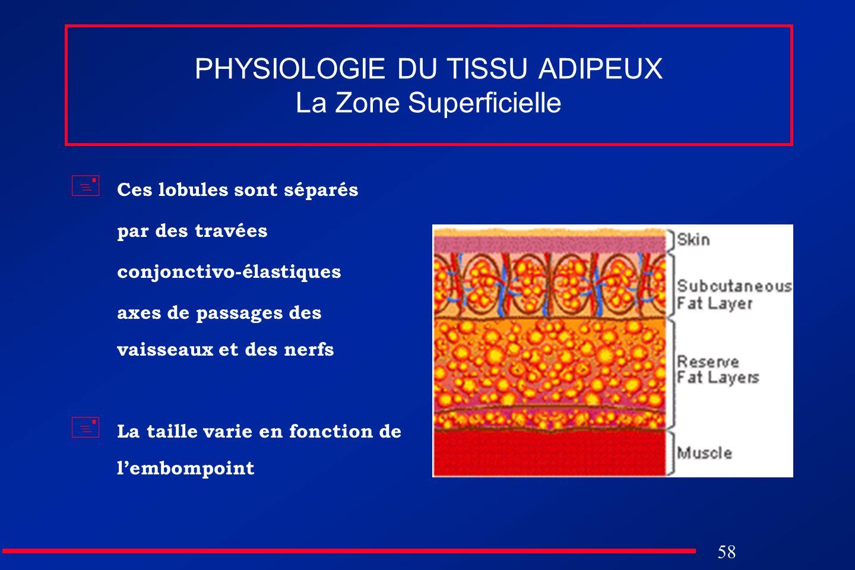 58 PHYSIOLOGIE DU TISSU ADIPEUX La Zone Superficielle Ces lobules sont séparés par des travées conjonctivo-élastiques axes de passages des vaisseaux e