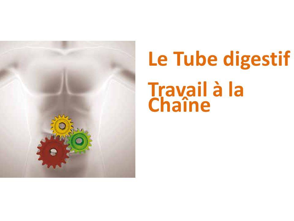 Le Tube digestif Travail à la Chaîne
