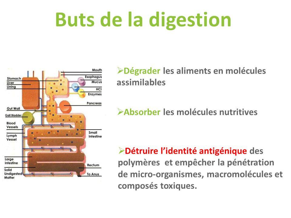 Dégrader les aliments en molécules assimilables Absorber les molécules nutritives Détruire lidentité antigénique des polymères et empêcher la pénétrat