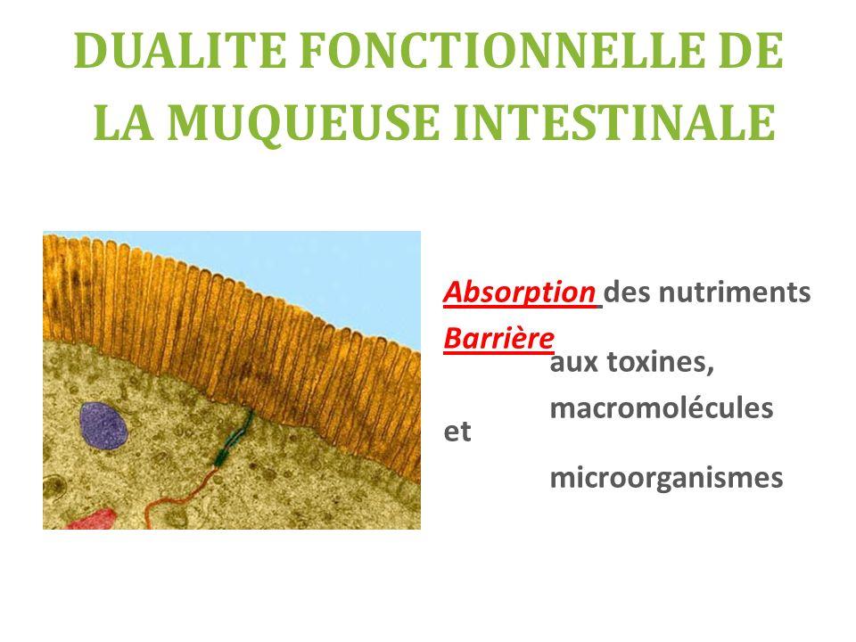 DUALITE FONCTIONNELLE DE LA MUQUEUSE INTESTINALE Absorption des nutriments Barrière aux toxines, macromolécules et microorganismes