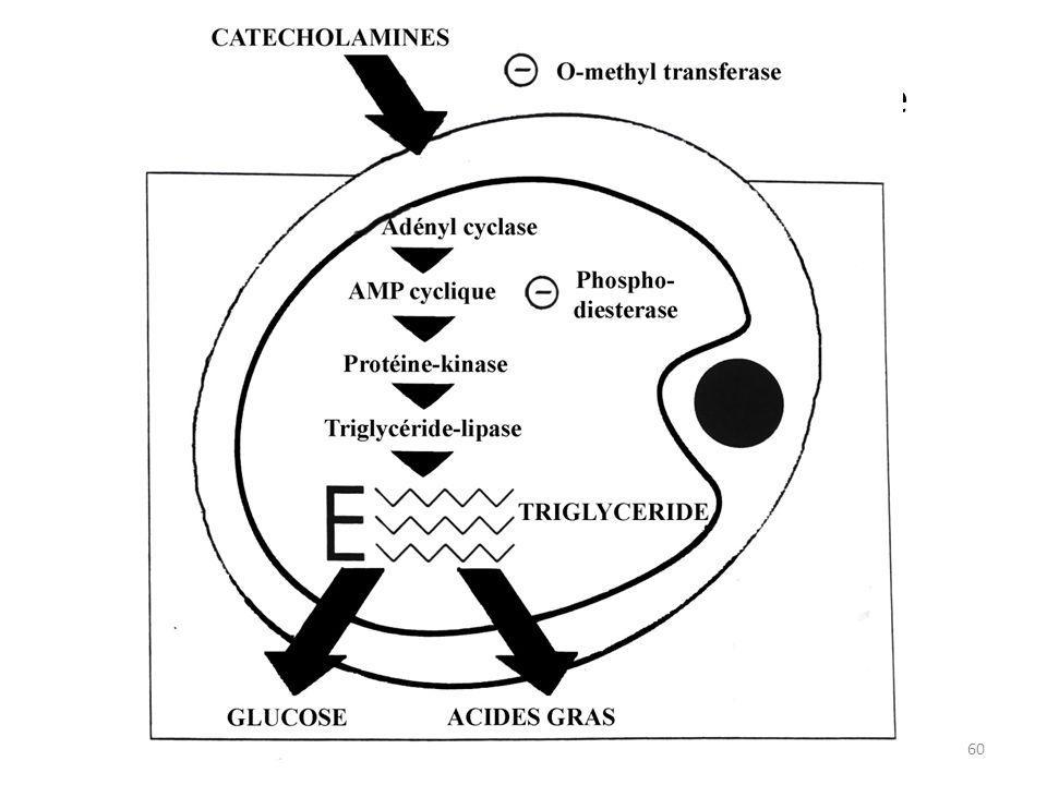 XV. Mécanisme de la lipolyse 60