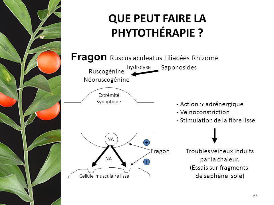 QUE PEUT FAIRE LA PHYTOTHÉRAPIE ? Fragon Ruscus aculeatus Liliacées Rhizome hydrolyse - Action adrénergique - Veinoconstriction - Stimulation de la fi