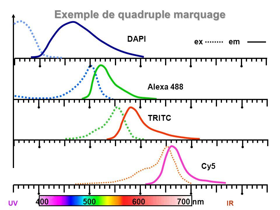 Exemple de quadruple marquage Alexa 488 400 500 600 700 nm TRITC Cy5 DAPI ex em UVIR